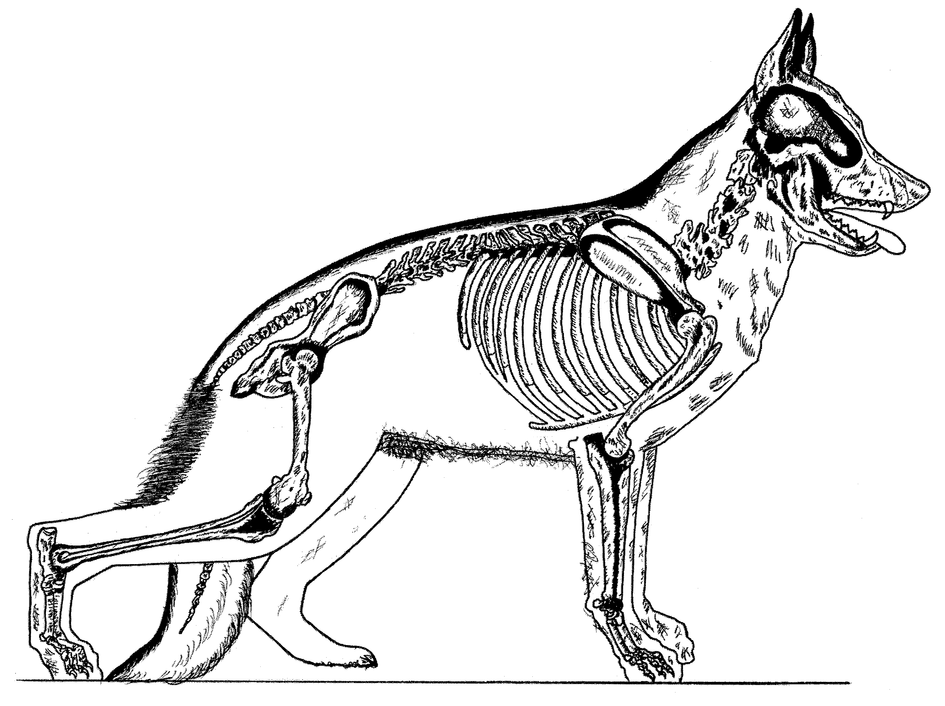 The Evolutionary Development Of The German Shepherd Dog Skeleton