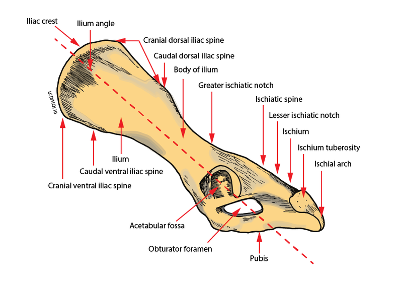 The Hindquarter Of The German Shepherd Dog The German Shepherd Dog
