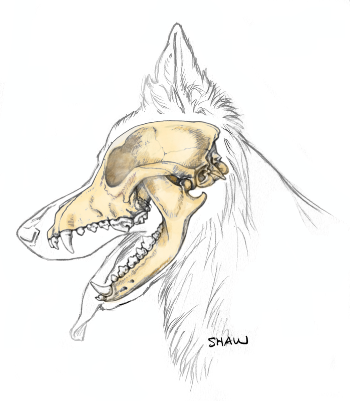 The Head Of The German Shepherd Dog