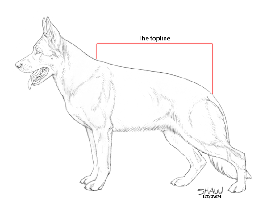 The True Back of the German Shepherd Dog - The German Shepherd Dog