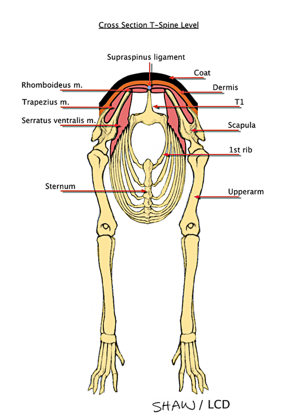 The Forequarter of the German Shepherd Dog - The German Shepherd Dog