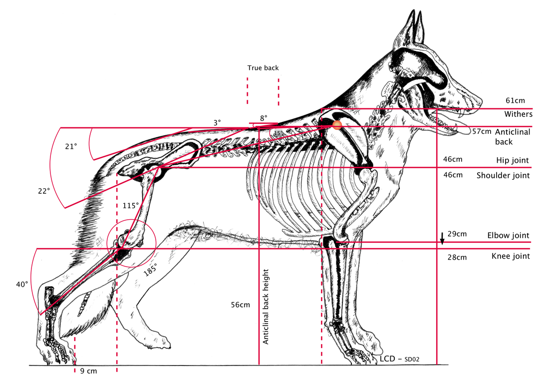 Canine Structure Diagram For Angle - Search For Wiring Diagrams •
